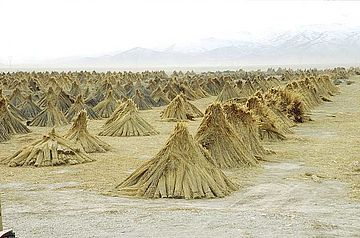 Sheaves of reed left to dry in pyramids