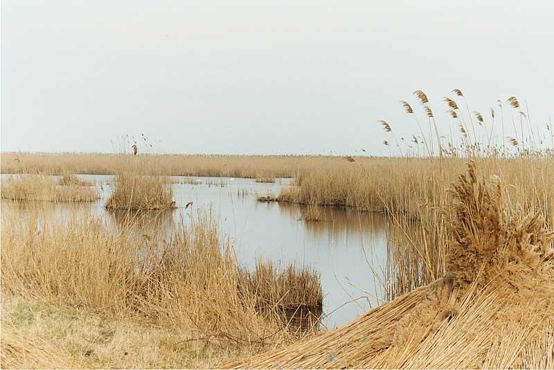 The Water Reed Harvest